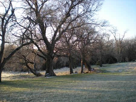 Hedge trees, iced