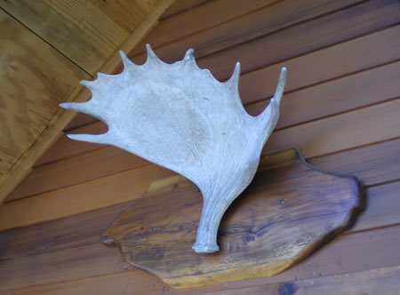 This moose antler (not found in Kansas) hangs over the door of Half-Moose Lodge.