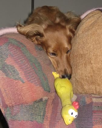 and his rubber chicken (the neighbors' dog)