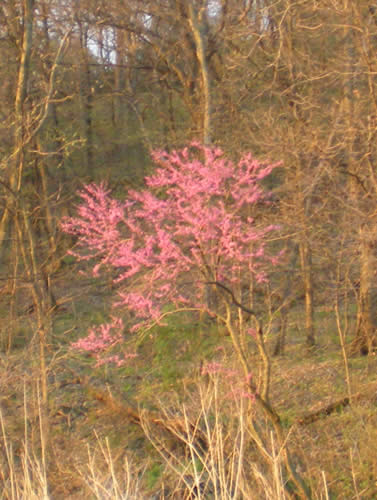 Redbud in the otherwise still leafless woods.