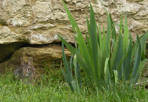 I stopped to look at the irises this morning.  It took me a moment to notice the bunny blending into the rock beside them.