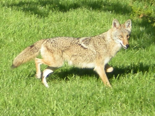 This coyote and his brother were hunting out by our woodpile this morning.