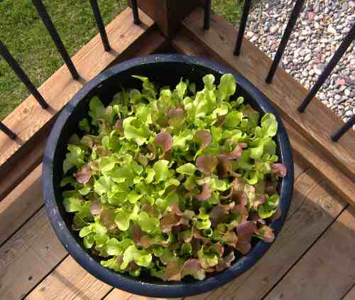 Deck lettuce was planted from seed around April 14.