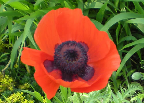 I love the orange-red and deep purple of these poppies.