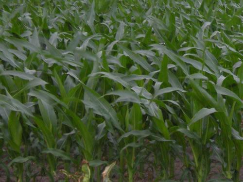 New corn in the wind