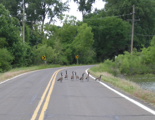 Geese crossing the road.