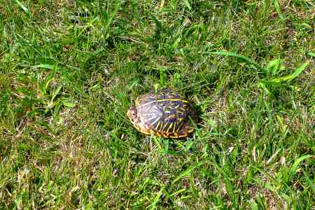 This ornate box turtle took a rather fast walk across the front yard today.  I almost stepped on it.