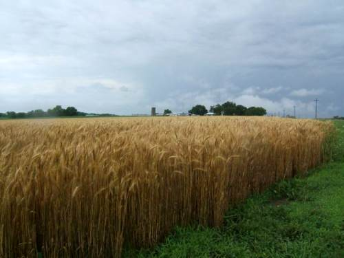 The wheat has ripened and is ready for harvest.  More rain on the way in this photo.  Hot and dry is the forecsat this week.  I'll try to get a harvest shot.