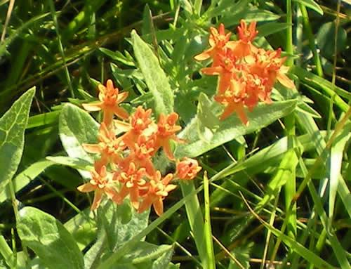 Butterfly milkweed is my favorite of all the prairie wildflowers.