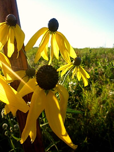 I read that these grayhead prairie coneflowers can be gown easily from seeds. Native Americans used the root to treat toothaches.