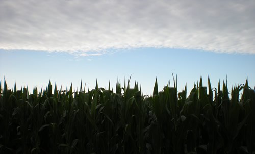 Tall corn, sky.  This is the same spot from which I took the earlier social studies book photo with the farmhouse and railroad car.