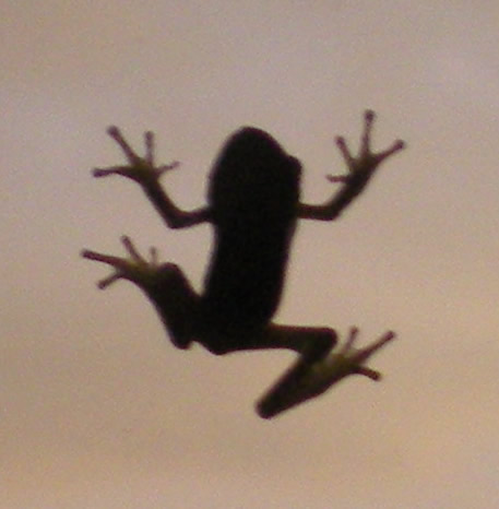 Every night gangs of tiny frogs flock to our front door.  The surrounding wall is rock, and they live in the chinks during the day. This morning I got this guy through the glass.