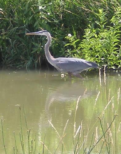 Heron, hanging around at Lakeview