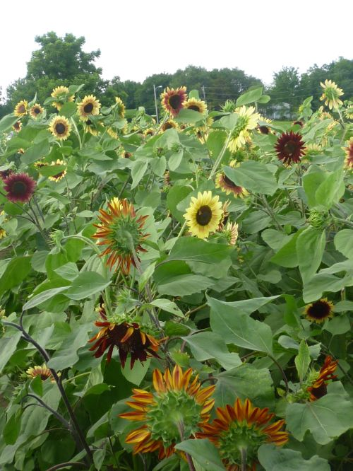 This sunflower field is just off Kill Creek Road on Hiway 10.  I have never seen so many amazing varieties. The farmer who planted them is selling them for $10.00 a dozen.  The money goes to polio prevention.