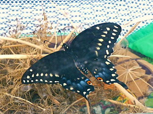 My grandson and I placed a caterpillar in a butterfly house to watch it metamorphize, but it just happened today.  Nature:  it's unbeatable.  I emailed photos to my grandson.