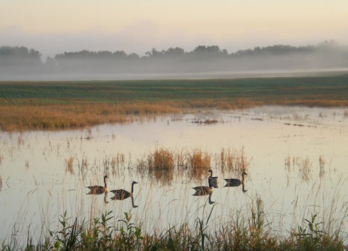 Geese in the wet field and morning mist