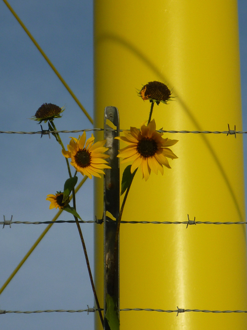 O.K.  I really liked this shot to the yellow water tower, too. I placed the sunflowers on the barbed wire fence and shot just part of one leg as the background.