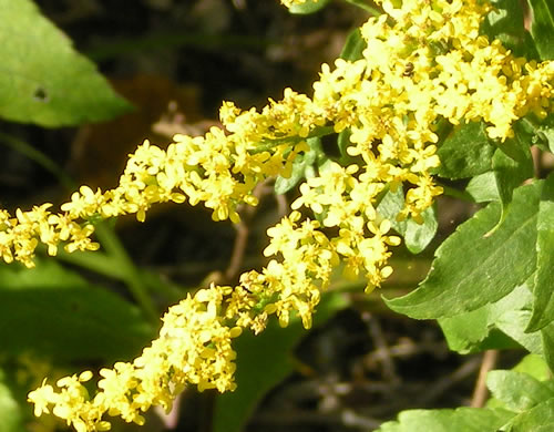 I love the drape of the goldenrod.