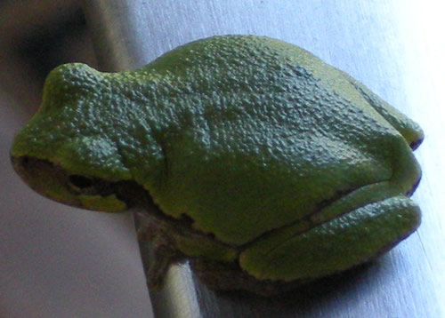 This tree frog was hanging around on the door handle this morning.  The photo is misleading - in real life he was less than an inch long. What a perfect little being!