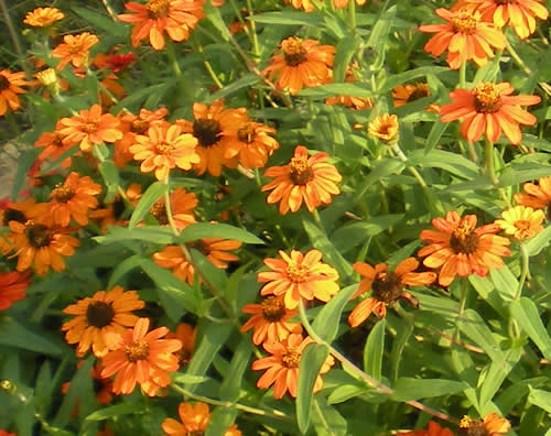 "Does orange count?  These are Profusion zinnias.  I planted them in red, orange, and white.  The orange ones stood up and raised their hands.  ""Me! Me! Pick me!"""
