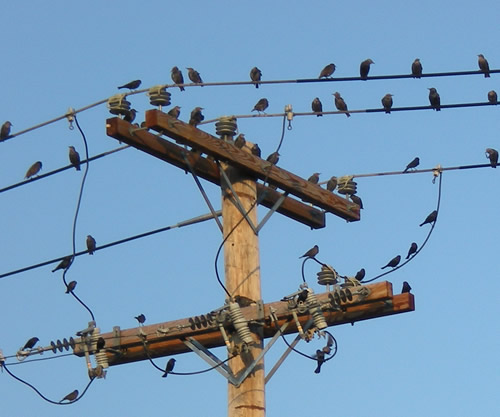 Birds on wires again