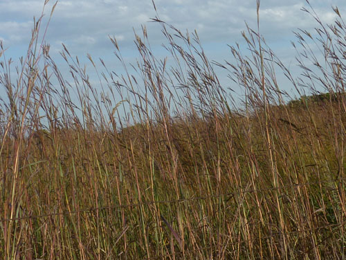 The big bluestem grass is beginning to turn a beautiful warm red-brown color.  It covers thousands of acres in the Flint Hills and on the Konza Prairie.