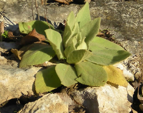 Flannel mullein growing right out of a pile of rocks