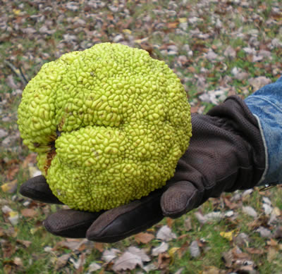 Hedge apple, Osage orange, bois d'arc - we have thousands of them all over the ground.  They are hard now, but in the winter they freeze and burst, and thus provide lots of food for birds and animals.