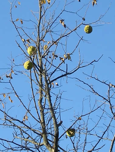 Hedge apples on the tree, no leaves
