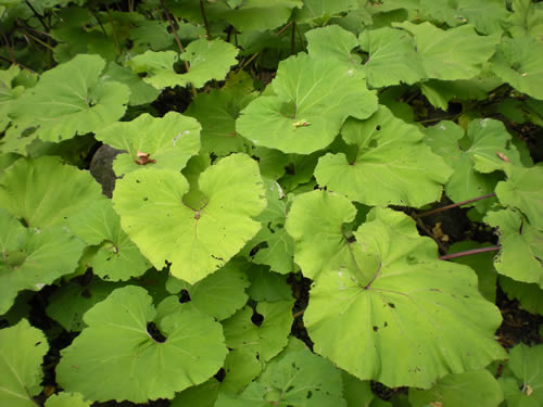 Big gorgeous leaves