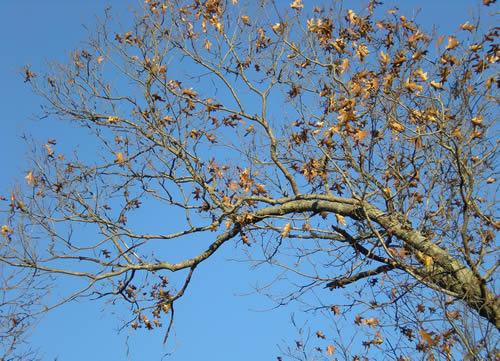 Oak tree brown leaves against clear blue sky