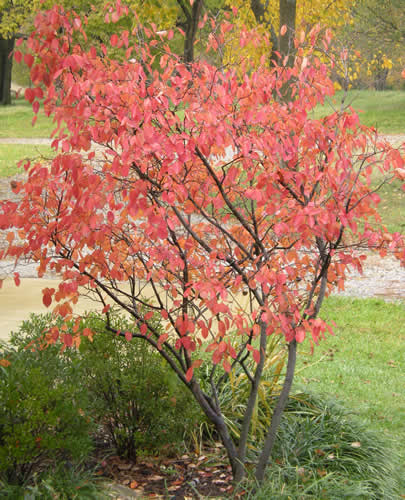 We only have a couple of maples on the land, and those are ones we planted.  So most of our fall foliage colors are yellow (as in the background here) and brown.  This serviceberry tree provides a welcome splash of red outside the kitchen window.