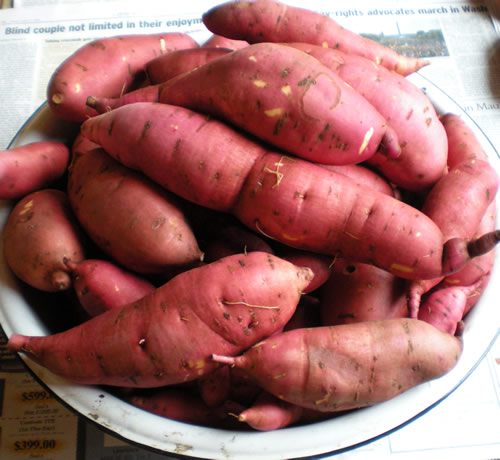 We dug up our sweet potato crop a couple of days ago.  I know this is not a beautiful picture, in fact it resembles a pan full of body parts, but I am just thrilled.  We'd never grown them before.  You have no idea what's under the ground, and then digging reveals a bounty of winter food.
