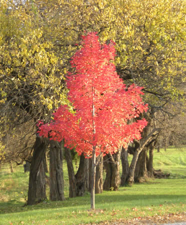 red maple against hedge trees