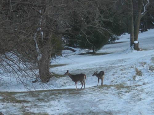 Two deer in the snowy woods