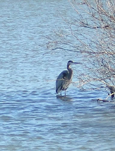 Great blue heron standing in the lake