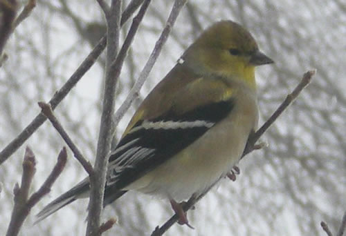 Goldfinch, snowy background