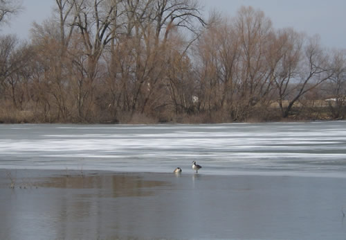 Two geese on iced-over lake