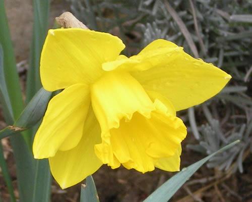 daffodil bloom