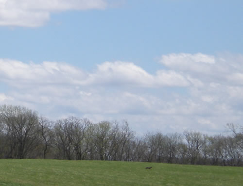 coyote in field in midday