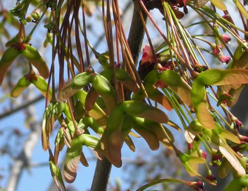 maple tree buds