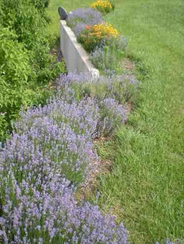 Lavender, butterfly milkweed, coreopsis