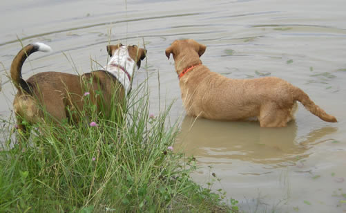 one dog in the pond, one on shore, looking in the same direction
