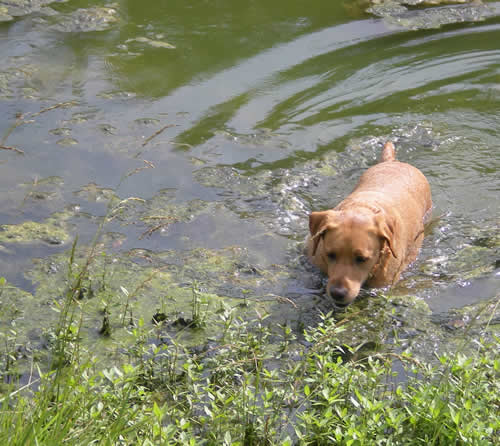 labrador retriever in pond
