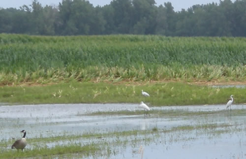 Egrets and goose in a flooded field