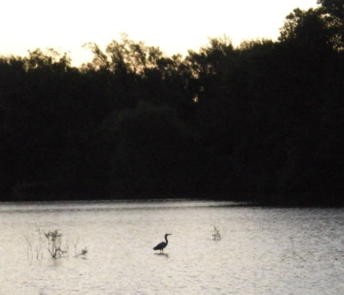 heron at sunrise in the lake