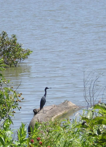 Little blue heron on log floating in lake