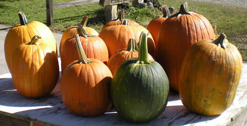 8 pumpkins piled up in the sun