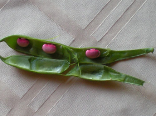 scarlet runner beans in the pod