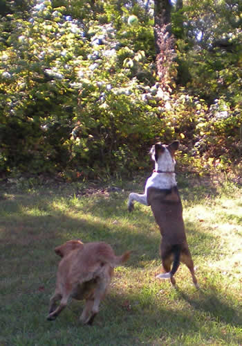 One dog jumping for a tennis ball, the other running behind